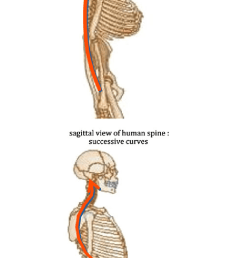 a primates have no lordosis sagittal view of primate skeletton c shaped spine  [ 714 x 1279 Pixel ]
