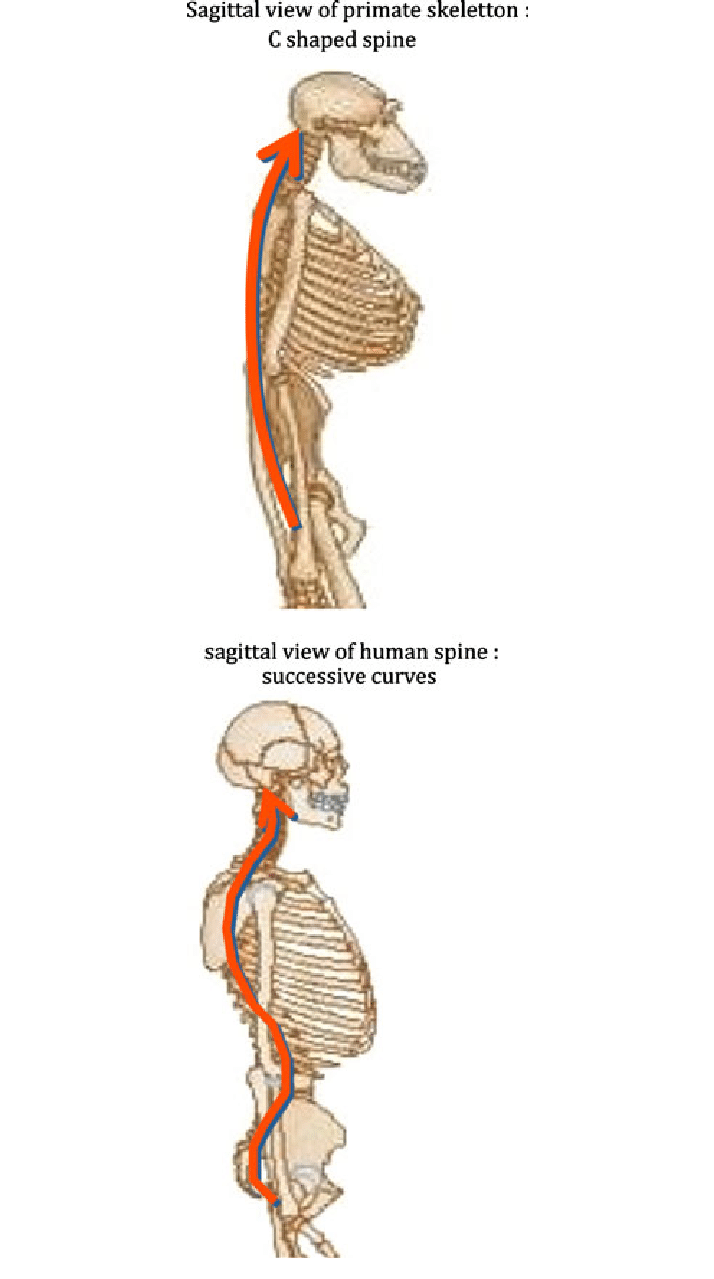 medium resolution of a primates have no lordosis sagittal view of primate skeletton c shaped spine