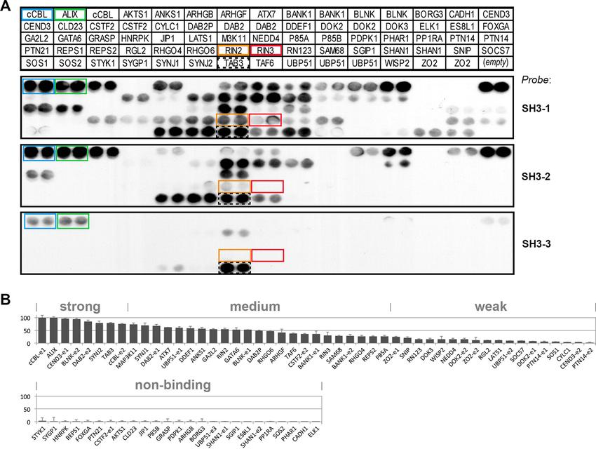 FIGURE 3. Peptide array motif screen identifies 40