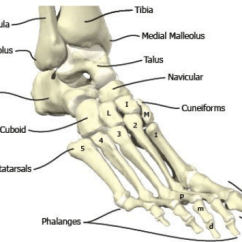 Bones In Your Foot Diagram 1999 F250 Fuse Panel The And Ankle Region Medial Lateral View Of Right