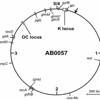 Genetic arrangement of OC loci in A. baumannii. OC-locus