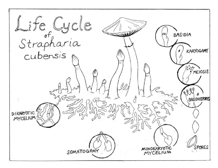 The lifecycle of a mushroom. Sketch by Grant Trowbridge
