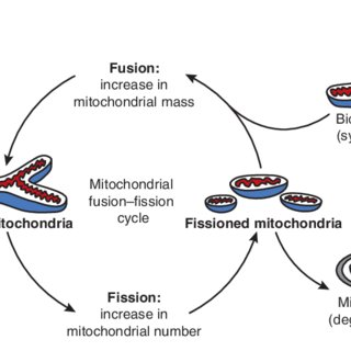 Model of the influence of mitochondrial dynamics on aging