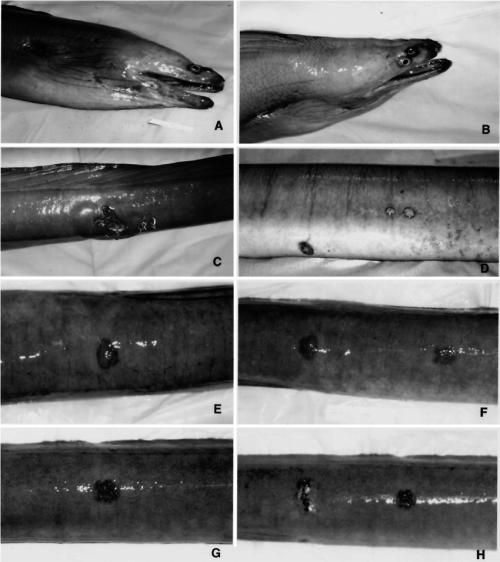 small resolution of green moray eels with granulomatous dermatitis and fasciitis the download scientific diagram