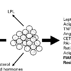 (PDF) Physiological role of adipose tissue: White adipose