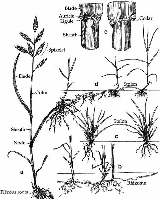 Structure of the grass plant: ( a ) General habit ( Bromus