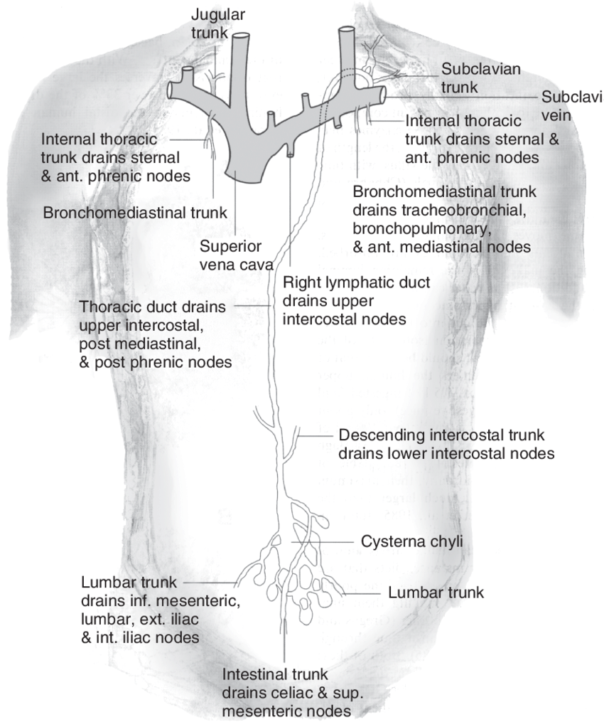 medium resolution of 10 human thoracoabdominal lymphatic system some high molecular weight download scientific diagram