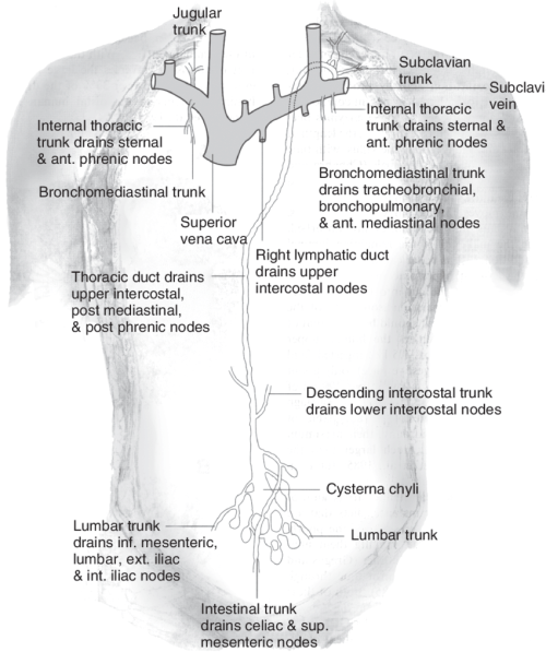 small resolution of 10 human thoracoabdominal lymphatic system some high molecular weight download scientific diagram