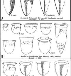 the illustrations in kofoid and campbell 1929 of species of cyttarocylis a  [ 850 x 1814 Pixel ]