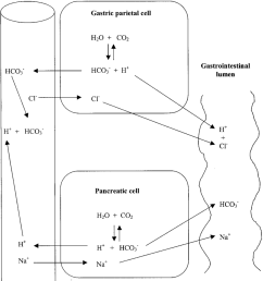 acid base regulation in the gastrointestinal tract  [ 850 x 1071 Pixel ]