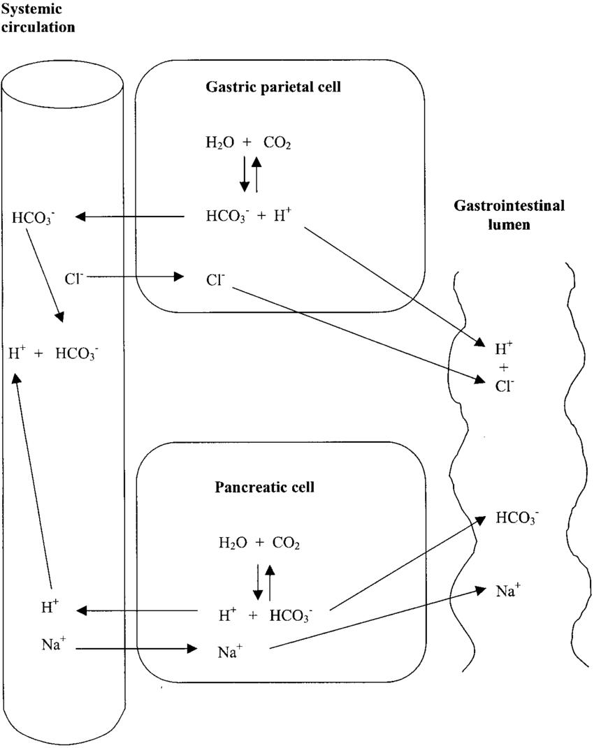medium resolution of acid base regulation in the gastrointestinal tract
