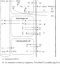 tubular physiological processes related to acid base maintenance  [ 850 x 1189 Pixel ]