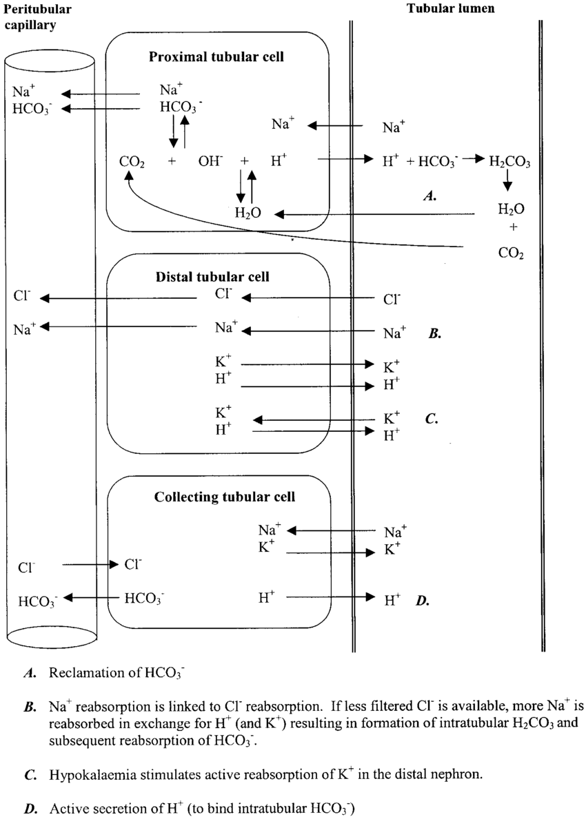 hight resolution of tubular physiological processes related to acid base maintenance
