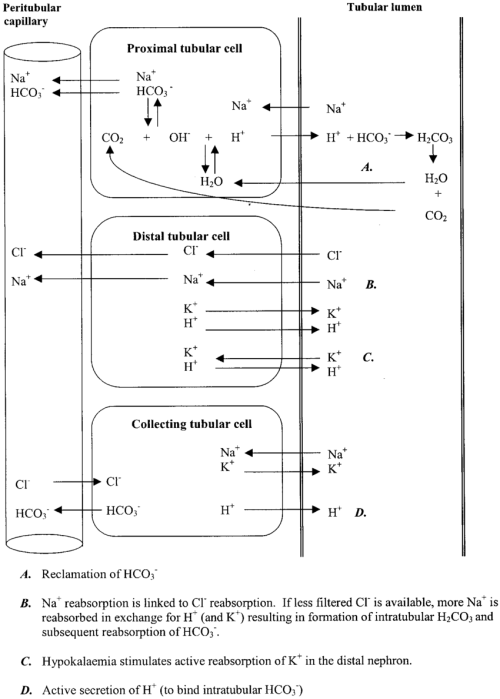 small resolution of tubular physiological processes related to acid base maintenance
