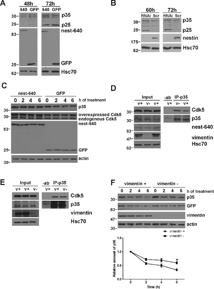 hight resolution of nestin scaffold regulates the processing of p35 a nestin overexpressing or
