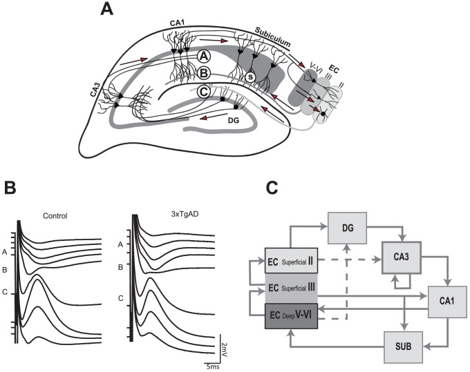 A: Hippocampal formation with approximate electrode