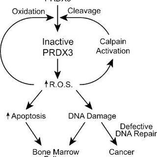 Schematic model of the regulation of PRDX3 activity and