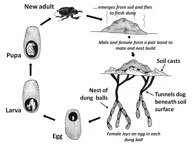 dung beetle diagram