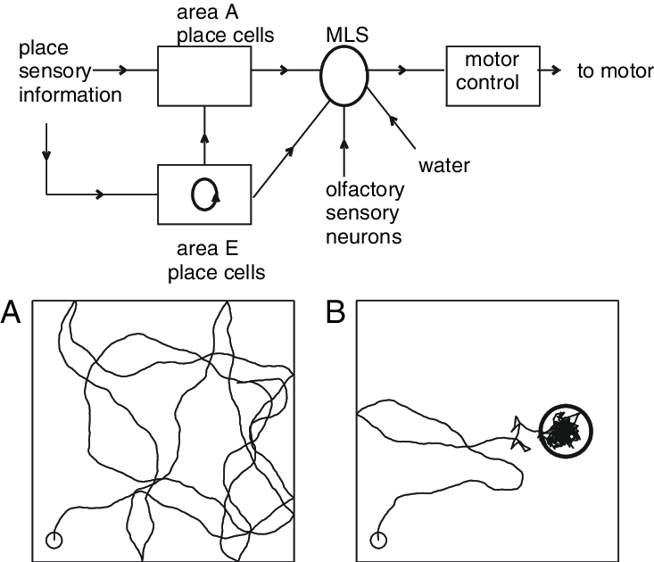 Circuit diagram and synaptic connection pathways (arrows