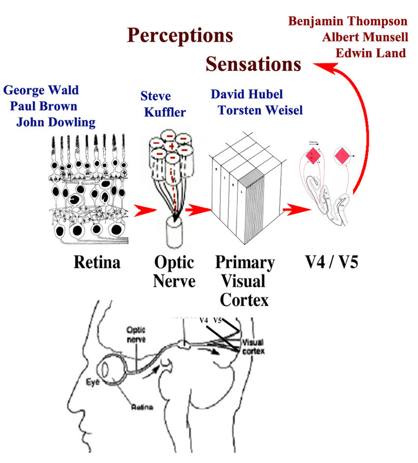 hight resolution of a side view of the human visual pathway from the lens retina optic nerve
