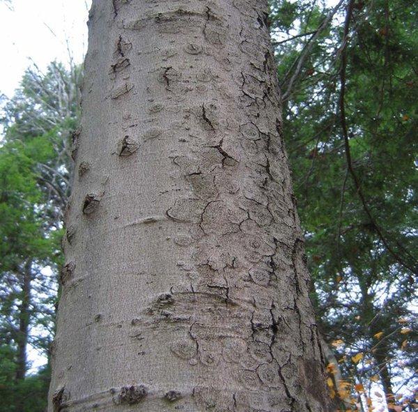 Bark Side Of Beech Tree