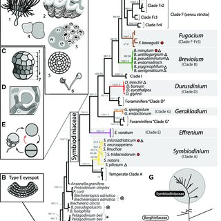 (PDF) Systematic Revision of Symbiodiniaceae Highlights