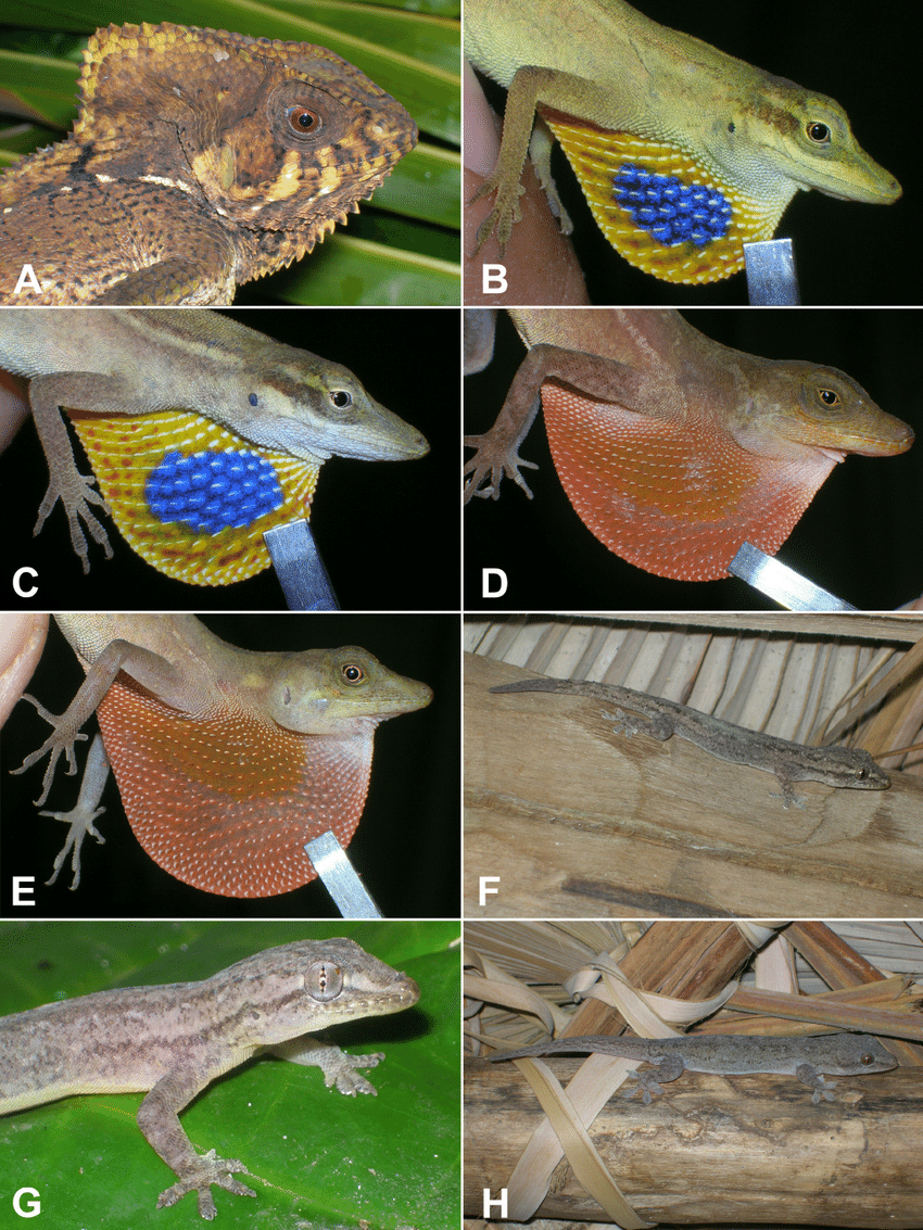 medium resolution of images of lizard species from the corn islands nicaragua a female download scientific diagram