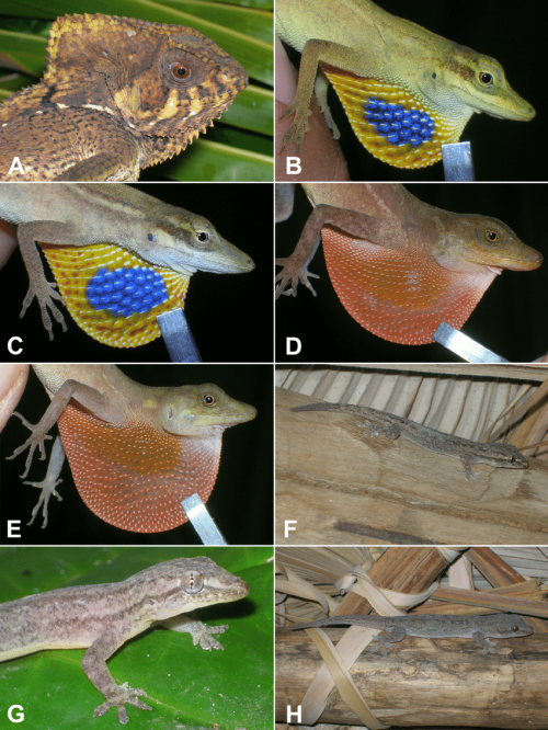 small resolution of images of lizard species from the corn islands nicaragua a female download scientific diagram