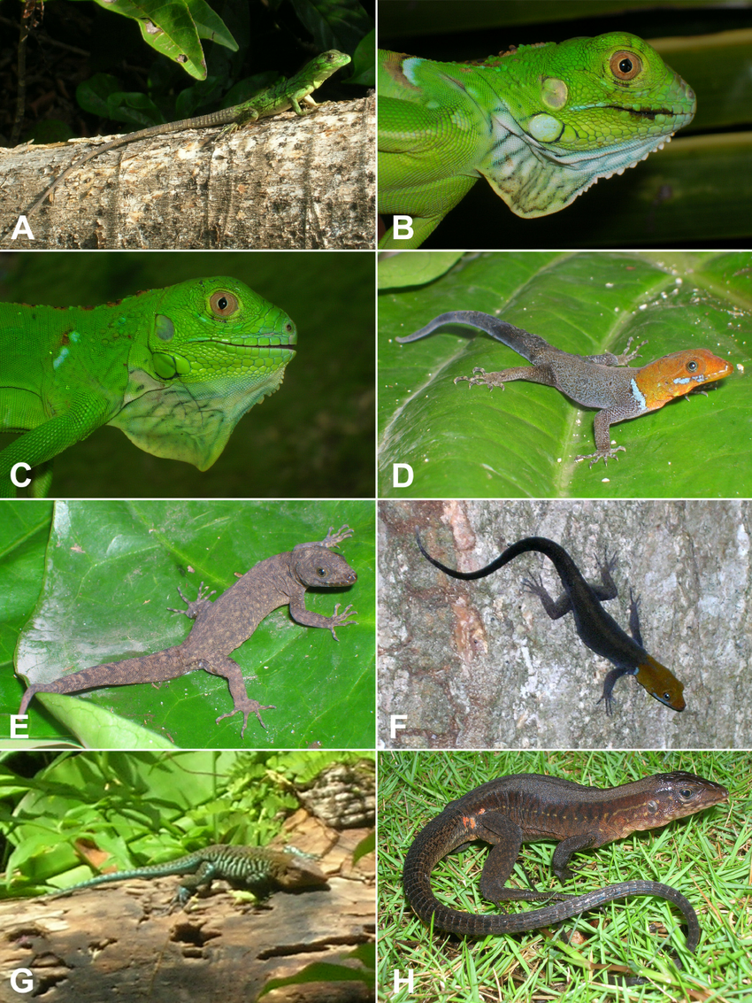 hight resolution of images of lizard species from the corn islands nicaragua continued download scientific diagram