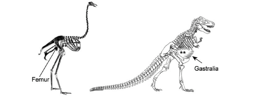 ostrich skeleton diagram porsche 914 starter wiring struthio and tyrannosaurus rex note the broadly open download scientific