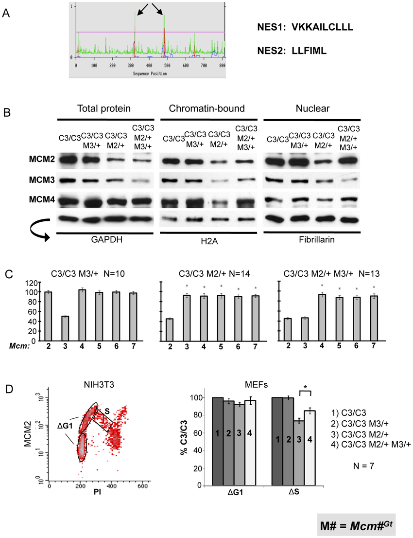 MCM3 regulates nuclear and chromatin-bound MCM levels. (A