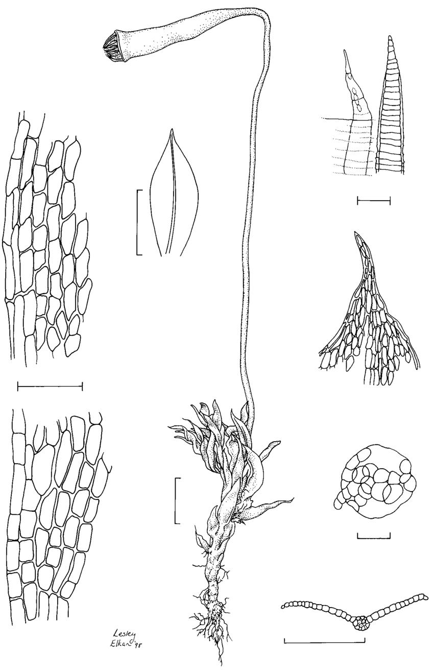 medium resolution of rosulabryum queenslandicum a habit with sporophyte attached dry b leaf