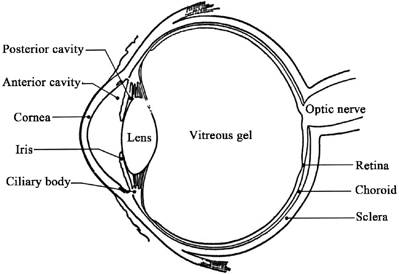 Schematic representation of the human eye showing its main