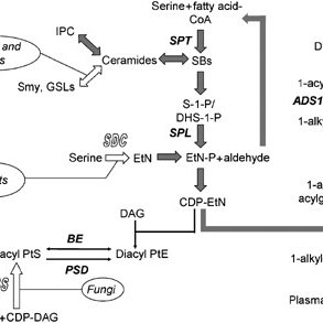 Synthesis of SLs and PtE in eukaryotes. Open block arrows