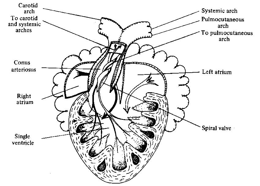 Diagram showing the amphibian heart (Xenopus laevis
