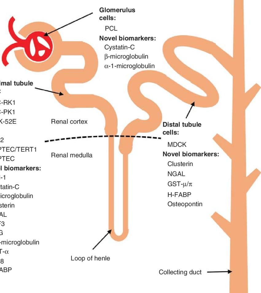 medium resolution of easy diagram of nephron