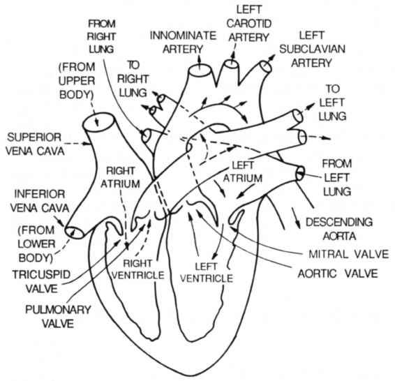 3: The four chambered heart is divided into two separated