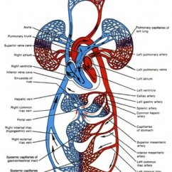 Human Vascular Anatomy Diagram Octopus Food Chain 2 Pressure Distribution In The Cardiovascular System From Circulatory Tortora And Anagnostakos 1990