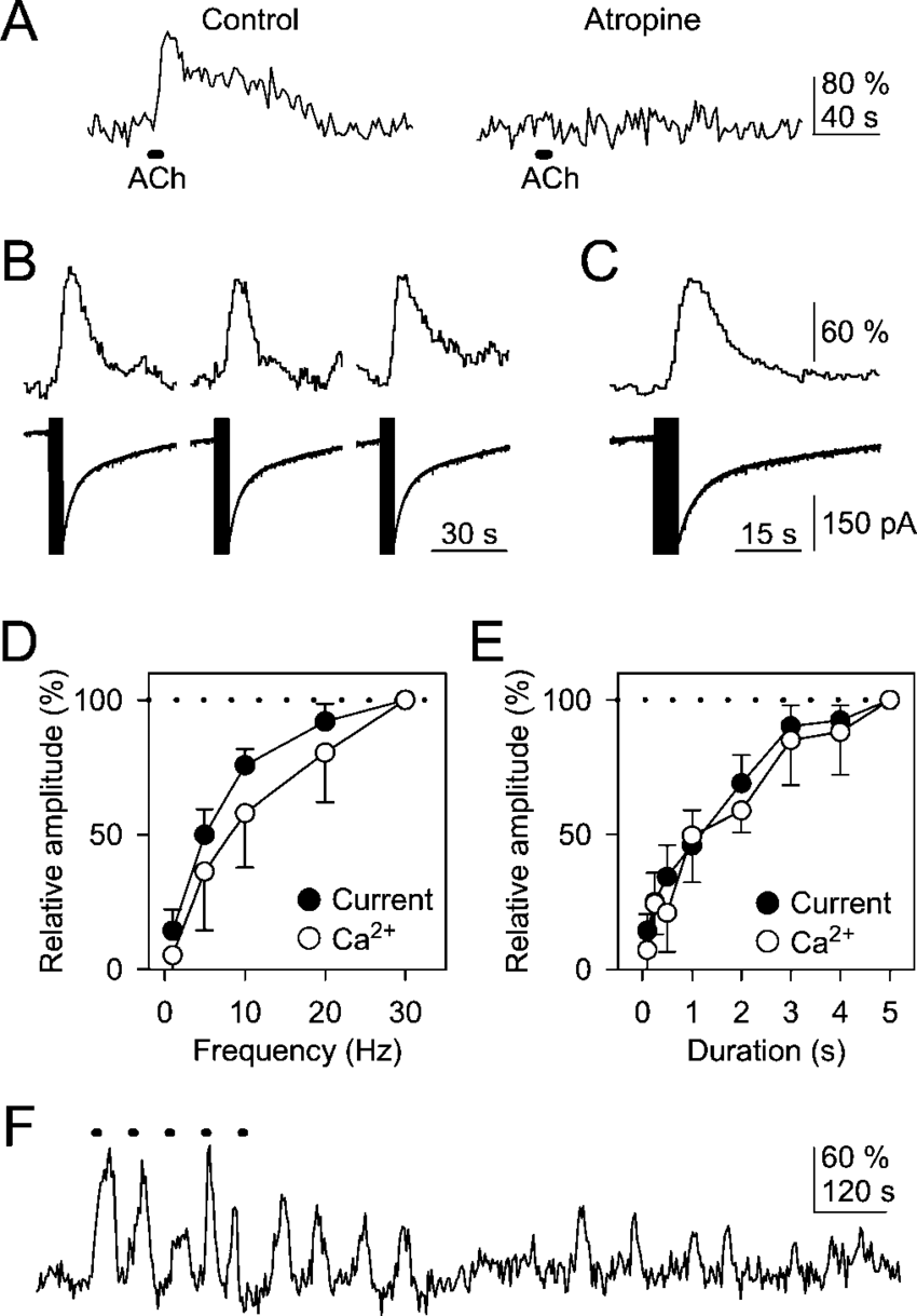 medium resolution of astrocytic responses evoked by ionophoretically applied ach and nerve fiber stimulation are shown a