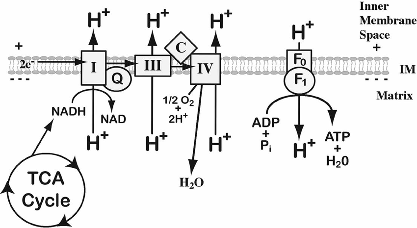 Schematic of the electron transport chain. NADH from the