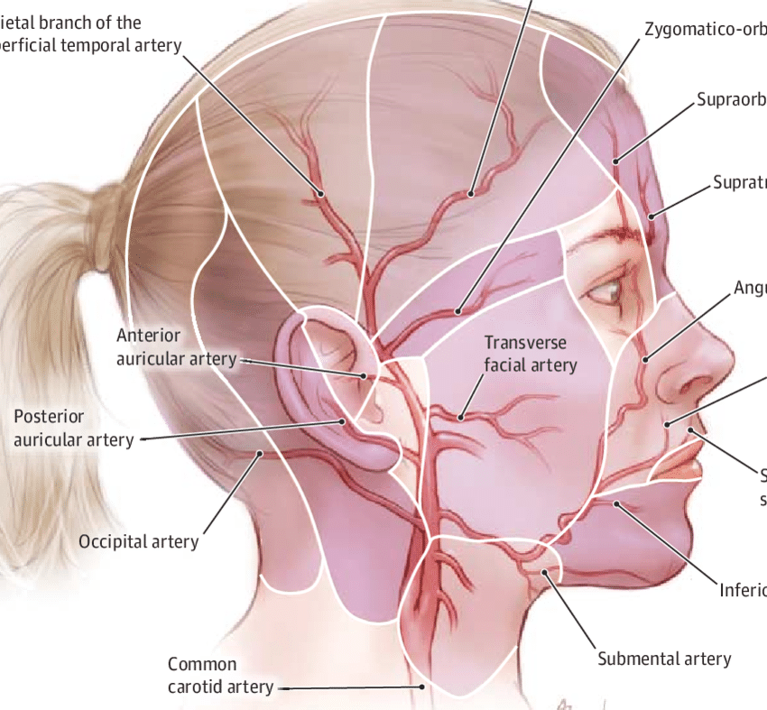 human vascular anatomy diagram 2006 freightliner m2 wiring of the cheek and lip download scientific