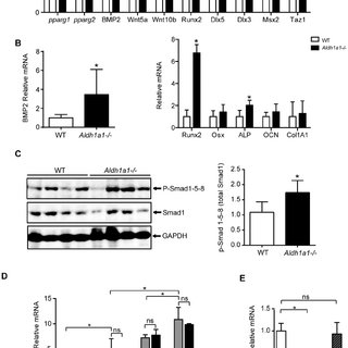 Aldh1a1 deficiency increases trabecular and cortical bone