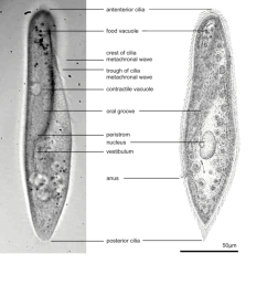 visible anatomy of a paramecium left photomicrograph right sketch after jennings [ 850 x 929 Pixel ]