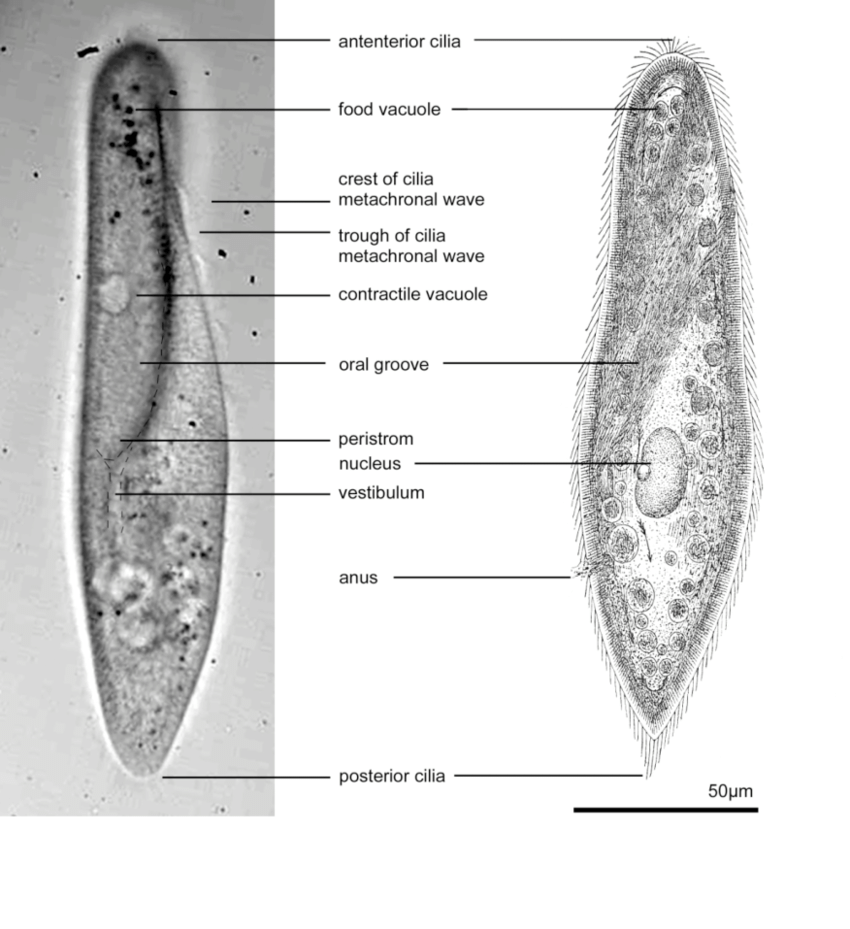 hight resolution of visible anatomy of a paramecium left photomicrograph right sketch after jennings