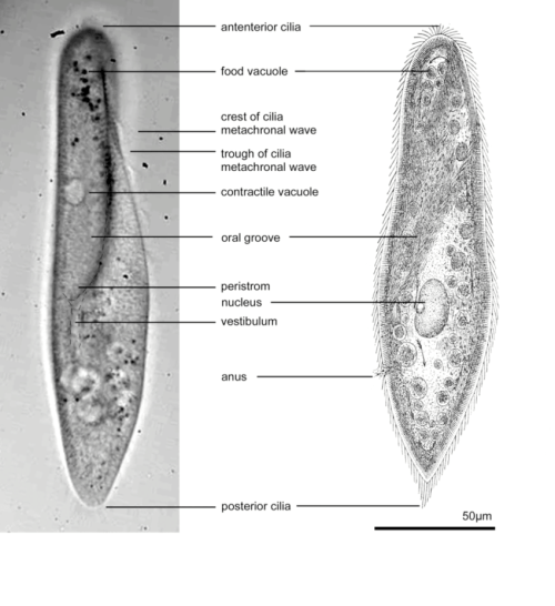 small resolution of visible anatomy of a paramecium left photomicrograph right sketch after jennings