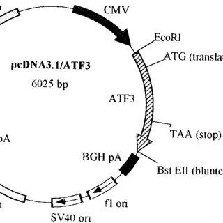 Schematic representation of the pcDNA3.1/ATF3 expression