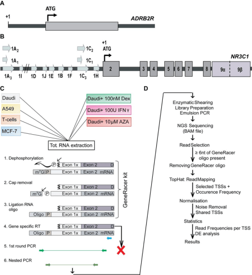 small resolution of a schematic representation of the adrb2r and nr3c1 gene structure and download scientific diagram