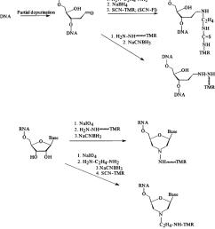 chemistry of the procedures used for labeling of dna or rna targets tmr tetramethylrhodamine [ 850 x 968 Pixel ]