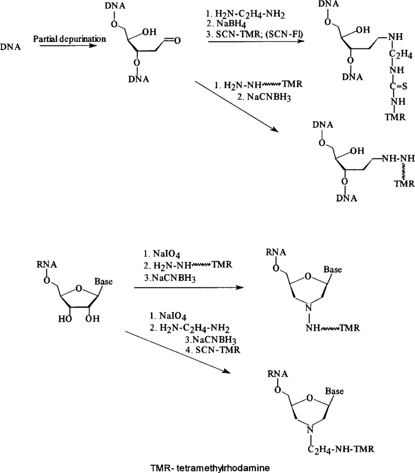 medium resolution of chemistry of the procedures used for labeling of dna or rna targets tmr tetramethylrhodamine