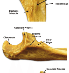 relevant bony landmarks of the proximal ulna  [ 850 x 1799 Pixel ]